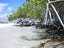Photo: Mangroves growing at the beach - can you see the iguana (2006/12/21 15:27)